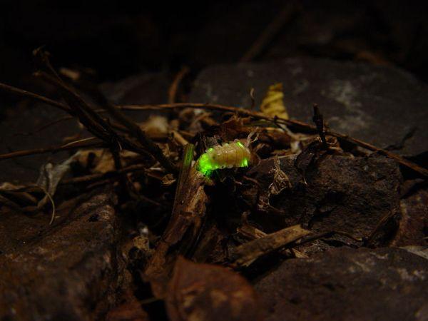800px-Leuchtkäfer_-_Firefly